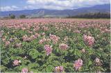 ジャガイモの花(斜里町峰浜)